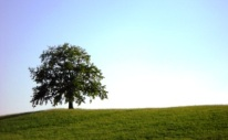 Das Foto zeigt eine große Eiche, die allein auf enem Grashügel steht. Im Hintergrund blauer Himmel.