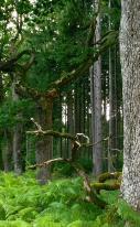 Das Foto zeigt hellgrüne Farne im Vordergrund, die einen Eichenstamm umwachsen sowie einen großen, toten Ast und im Hintergrund viele Fichten. Es ist der Blick in einen Wald hinein.