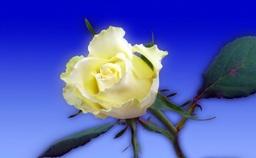 """Das Foto mit dem Titel """"Depression - Durch den eigenen Schatten zum Licht"""" zeigt eine aufgeblühte weiße Rose vor blauem Hintergrund als Symbol für Öffnung, Mitgefühl, Bewusstsein und Klarheit"""