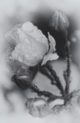 """Das Bild """"Depression - Stummer Weckruf der Seele"""" zeigt eine in Schwarz-Weiß fotografierte und grau getönte Rose"""