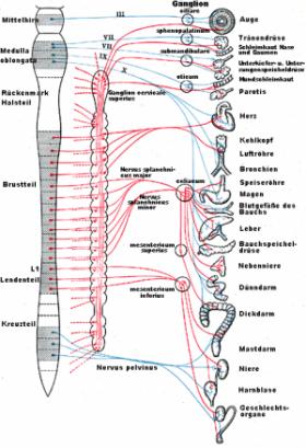 Vegetatives Nervensystem